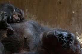 ゴリラのお母さんが、誕生した赤ちゃんにキス!?生まれて来てくれてありがとう♡