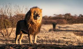 ウソでしょ!?ライオンの姿に「大きくて美しい猫ね」「なんて可愛いの。繰り返し見ちゃった」と多くのコメントが!!