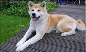 日本の裏側にあるブラジルにも、ハチ公と同じ境遇の秋田犬が!!