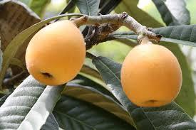 栄養が豊富なビワだがビワの種子には天然の有害物質が含まれている!?